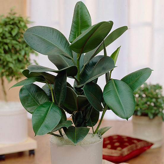 Rubber Plant Ficus Elastica 'Robusta' Houseplant on rubber plant light requirements, india rubber plant, rubber tree plant, rubber plant care tips, rubber floor covering, rubber succulents, rubber leaf plant, rubber freeze plug, tall rubber plant, rubber patio, baby rubber plant, green rubber plant, jade plant, rubber paint coating, american rubber plant, rubber looking plant, rubber plank flooring, rubber fruit plant, outdoor rubber plant,