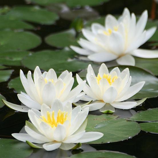 Water Lily Planting Kit White By Kaleidoscope Kaleidoscope